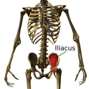 The Iliacus Muscle Can Be The Cause Of Your Back Pain